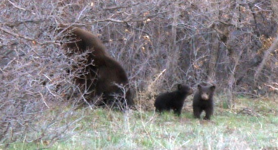 bearcubs-1 (2)